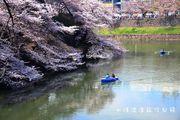 東京賞櫻景~千鳥ヶ淵、北の丸公園、目黑川、隅田公園