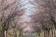 東北櫻花景點 世界一の桜並木 號稱世界最長櫻花林道6,500株櫻花樹綿...