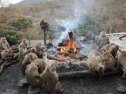 日本中部 犬山 猴子公園 猿猴圍爐取暖 當地冬天限定 獨有景像