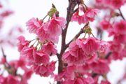 冬末春初 迎接春天來臨的 日本 最早櫻花 緋寒櫻