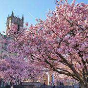 【西雅圖。生活】滿地整個校園的的櫻花樹及四月限定的鬱金香園