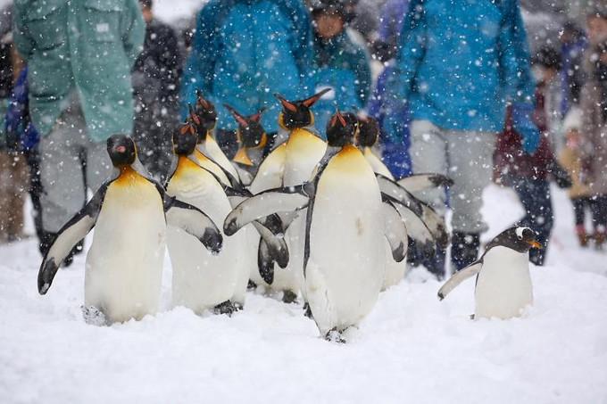 北海道 旭山動物園 近距離看動物們在雪中遊樂 企鵝漫步 海豹流冰