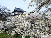 北海道櫻花攻略 140種櫻花的 松前城 櫻花百選推薦 畫面壯麗美絕