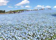 藍色花海!!茨城縣 國營常陸海濱公園 5月迎來粉蝶花期 花海令人沉醉當中...