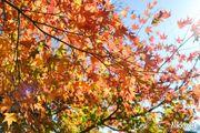 【日本。河口湖】紅葉回廊:觀賞紅葉和富士山的好地點!