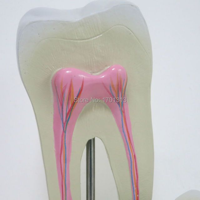 Single vivid tooth model  Dental clinic decoration  Special decoration  personalized decorative Figurines for Medical school