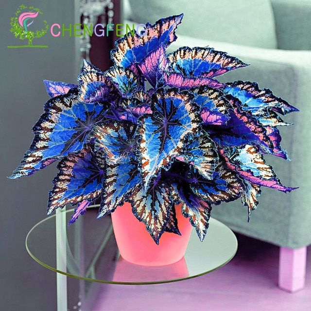 100pcs Janpanse Bonsai Coleus plants Foliage Plants Perfect Color Rainbow Dragon plants Beautiful Flower Plant Garden Semente
