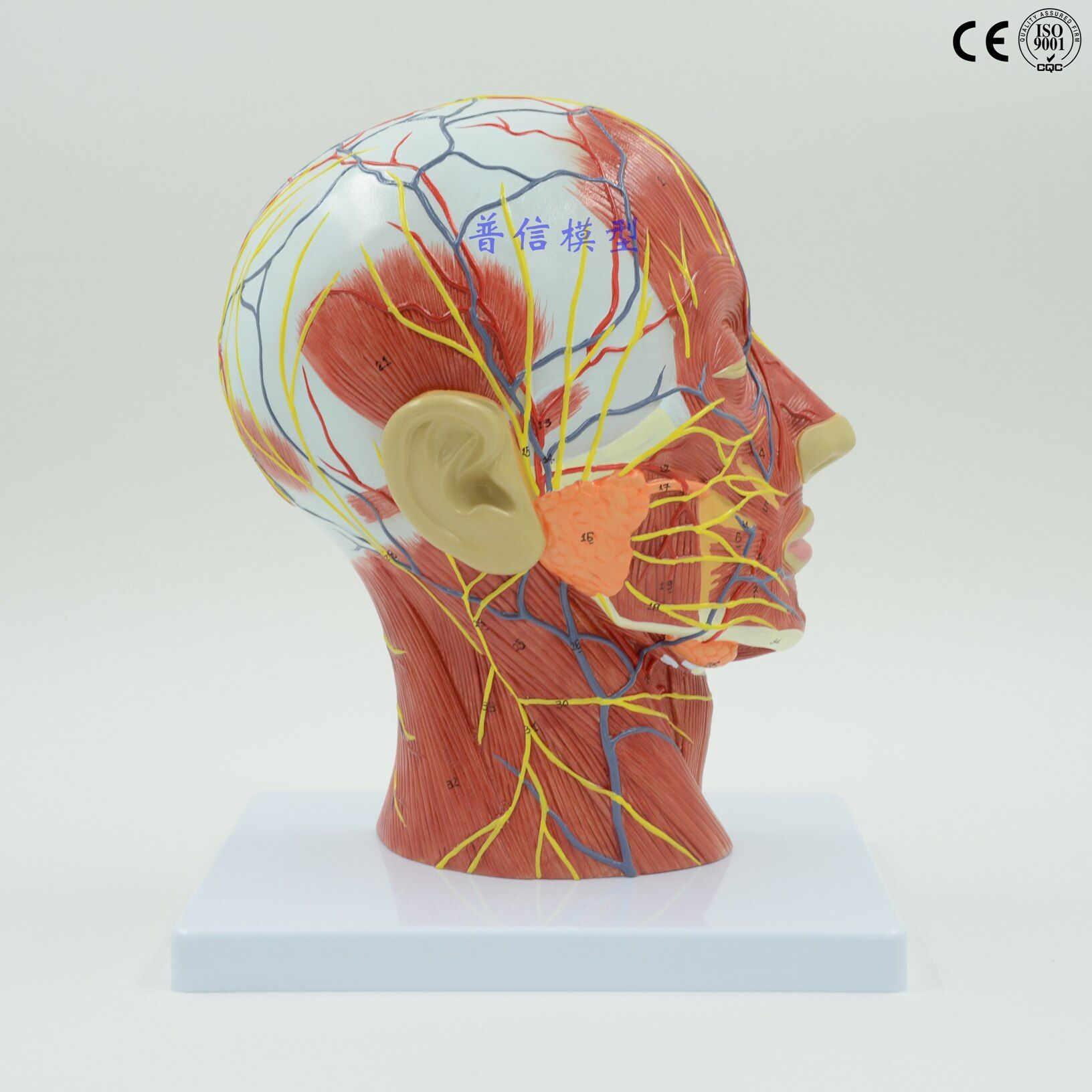 Medical Head Facial Anatomy Model of Brain Vascular Nerve Model of Facial Features Medical Science Educational Supplies