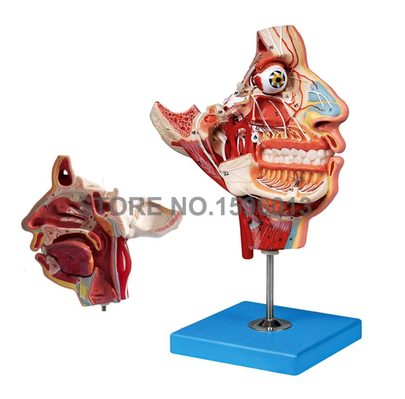 Two Sides Head and Face Anatomy Model, Muscles,Nerves and Vessels in Facial Skull Model