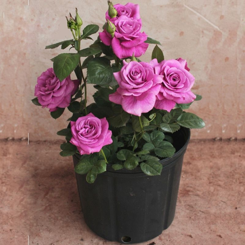 50 Purple Chinese Rose Tree  Bonsai seed  Beautiful yard flower easy to grow pretty  For Home Garden