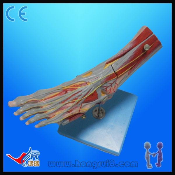 ISO Advanced Muscle of Foot with Main Vessels and Nerves, foot anatomy model