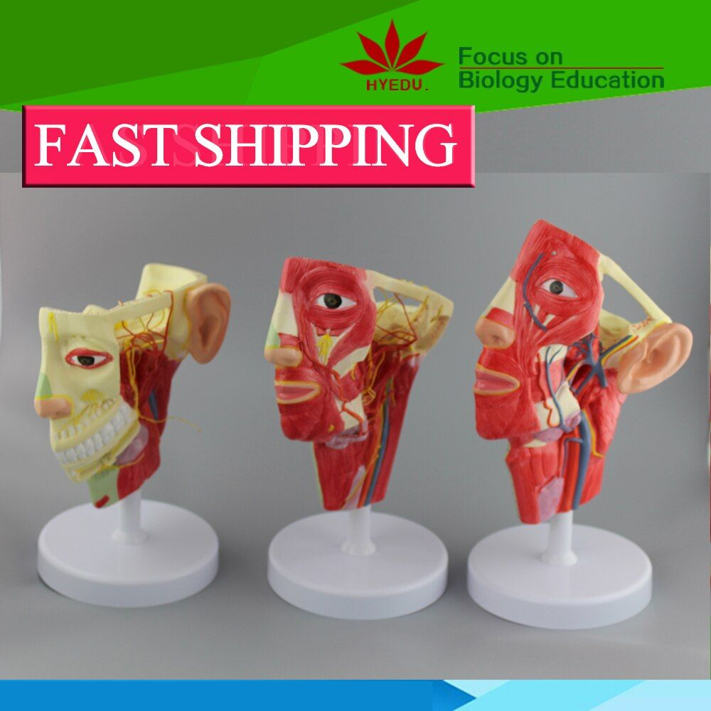 human head nerves ,veins ,and arteries anatomy model with 3 models one set