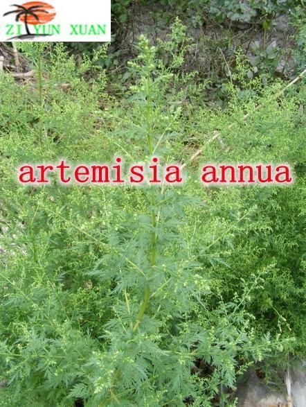 Top quality intestinal support sweet wormwood extract herbal medicine food high purity artemisinin 99% 100g artemisia annua