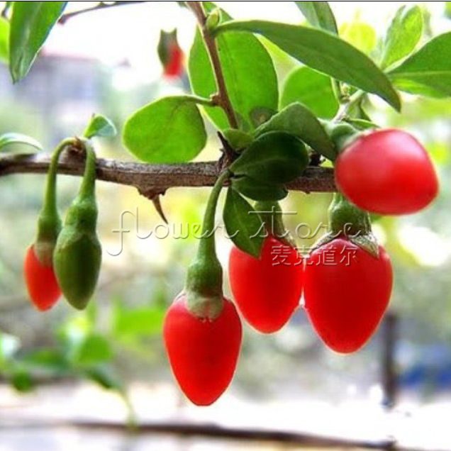 20 GOJI BERRY Seeds Great Medicinal Tea Organic For Farm Garden Easy To Grow Fresh Planting