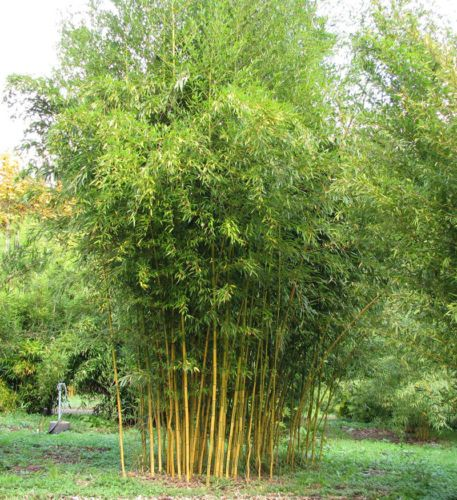 New Arrival New Outdoor Plants Very Easy Happy Farm Sementes 20pcs  Phyllostachys Aureosulcata bonsai