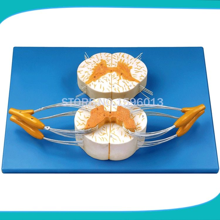HOT Spinal Cord with Nerve Branches Model ,spinal cord and spinal nerve branch model