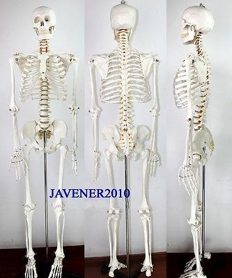170cm Life Size Man Human Anatomical Anatomy Skeleton Medical Model +Stand