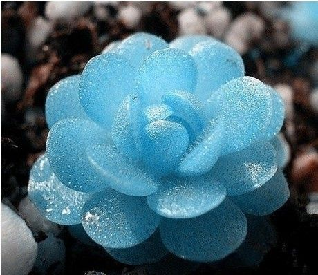 40 Seeds Mini Succulents Seed Tetragonia Blue Stone Flower Seeds Lithops Pseudotruncatella Seed