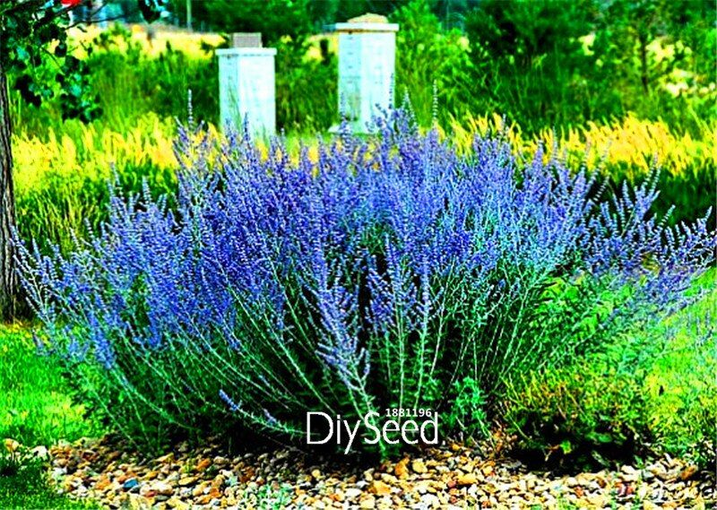 100 Seeds A Pack Genuine!Russian Sage, Perovskia, easy to grow ,DIY home garden flower seeds