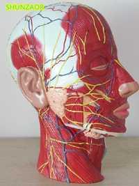 Shunzaor cráneo humano con músculos y nervios sanguíneos, Sección de cabeza cerebro, anatomía humana. Escuela de enseñanza médica.