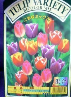 ★球根★チューリップ★ 二色咲 3種ミックス 20球入 横浜植木 ◎愛らしい花姿で春