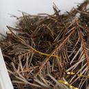 Castrol произведува моторно масло од новогодишни елки