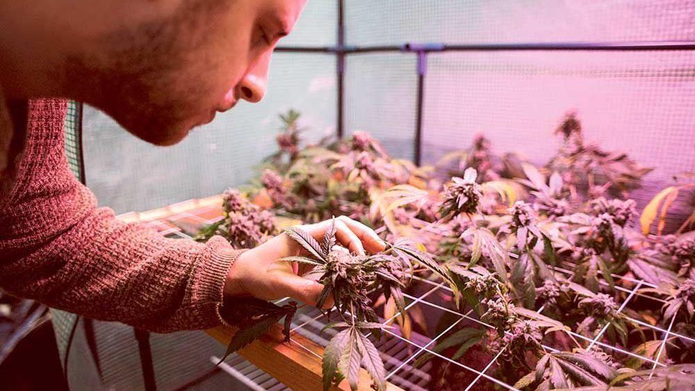 Cannabis enthusiast Dylan Osborn cultivates how-to tutorials.