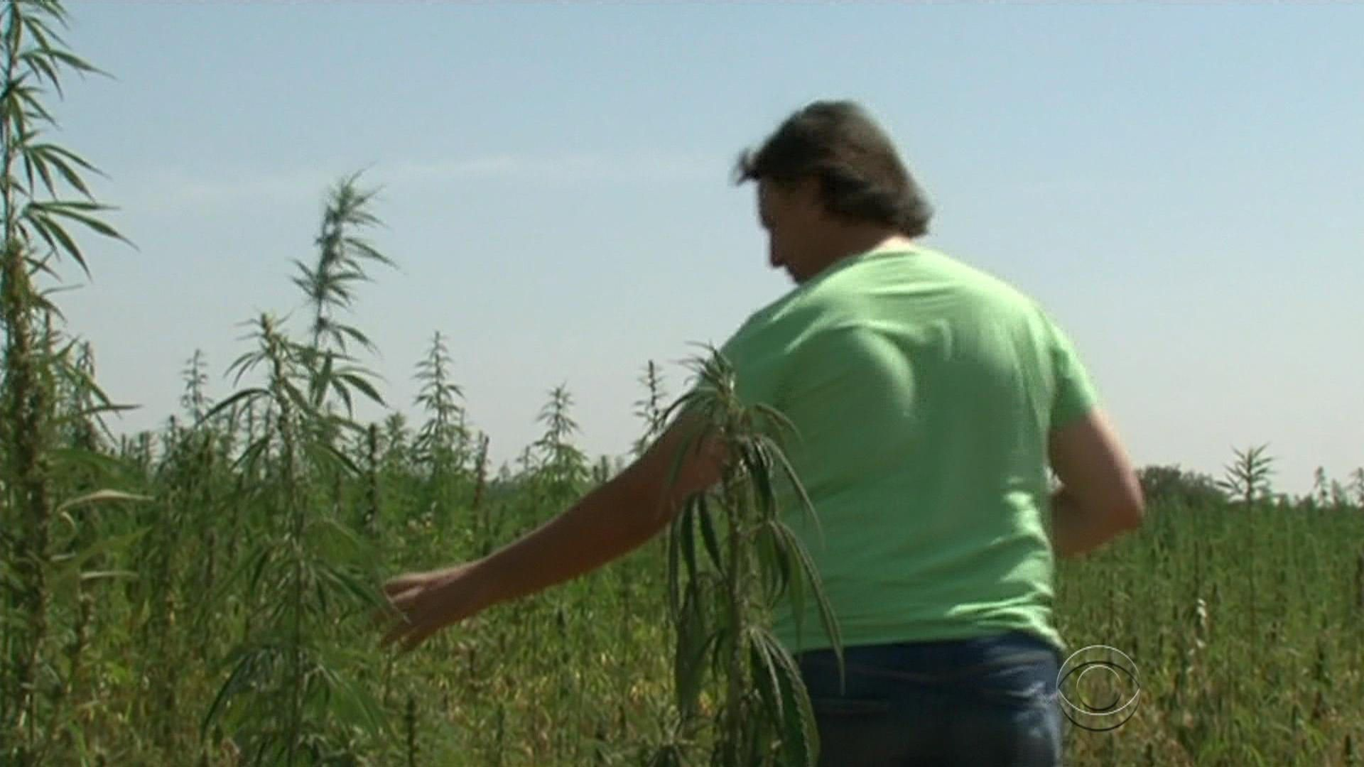 Farmers in Italy fight soil contamination with cannabis