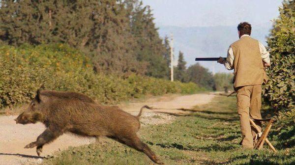 'l'emergenza cinghiali' in italia sta causando grossi danni all'agricoltura e alla biodiversita'...
