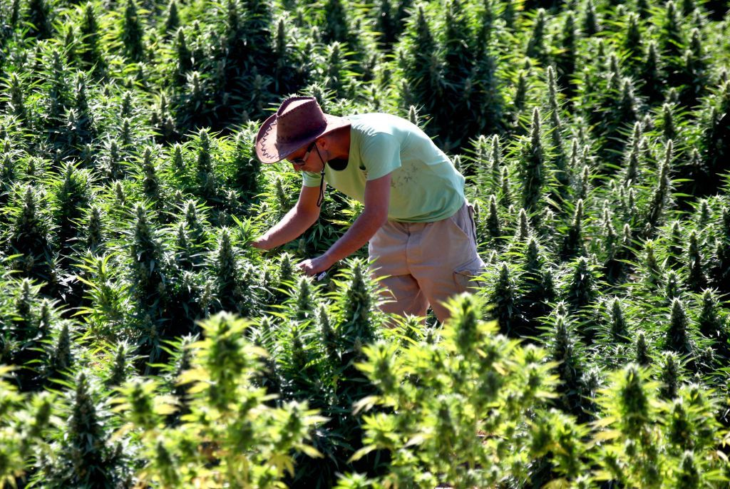 Israel to fund research for medical cannabis crops