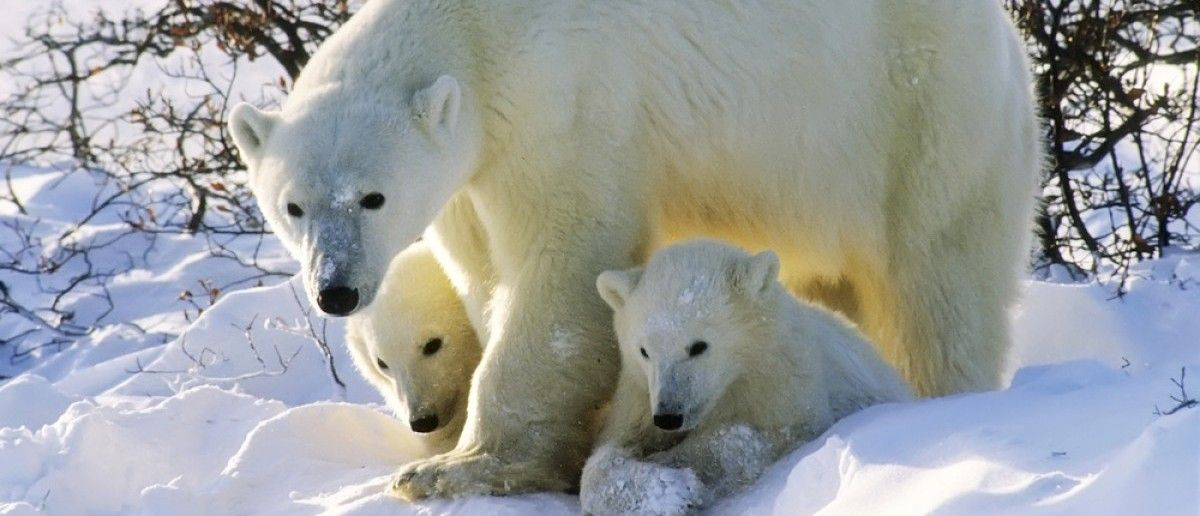 Polar Bear Numbers Still On The Rise, Despite Global Warming