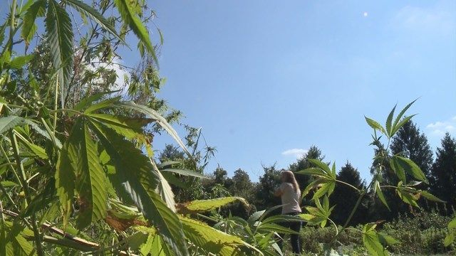 Farmington harvests hemp crop in more than 150 years