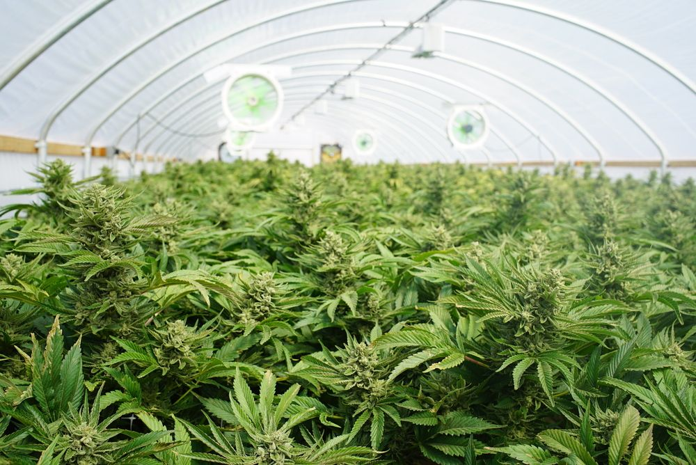 Crown Baus Capital Corp. (OTC Pink: CBCA) Jumps 31.06% After Acquiring 100 Acres For Cannabis Production - EmergingGrowth.com