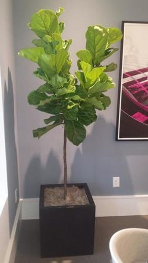 Gorgeous fiddle leaf figs!