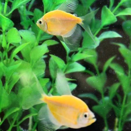 Longfin GloFish Tetras