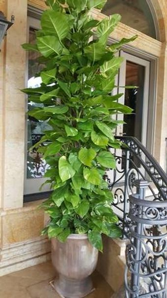 Tall plants for your home of office