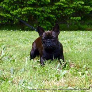 Image 3 | Umpqua Valley Kennels French Bulldogs