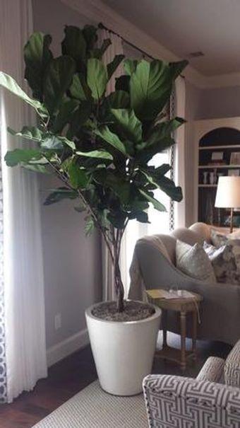 Indoor fiddle leaf figs