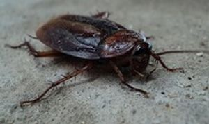 Cockroach Bloomington, Indiana Yes Pest Pros