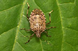 Stink bug Bloomington, Indiana Yes Pest Pros