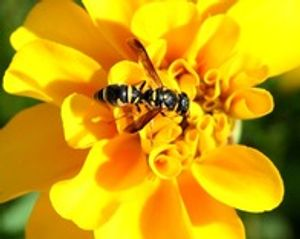 Paper Wasp Bloomington, Indiana Yes Pest Pros