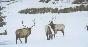 Come hear the Bugling of our Elk!