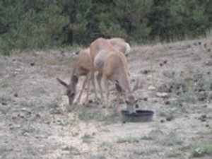 Come see our wildlife! Whitetail Deer, Mule Deer, Elk, Bear, Mountain Lion, Wolfe, and Big Horn Sheep.