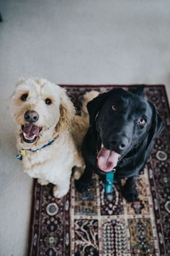 Dogs leave behind pet dander, odors, and urine stains. If you have a dog you need a carpet cleaning!
