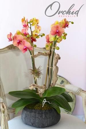This striking orchid arrangement features gorgeous blooms and buds of orange phalaenopsis orchids.