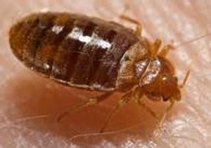 Bed bug Bloomington, Indiana Yes Pest Pros