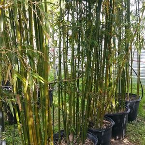 Wall of Graceful Bamboo 15g