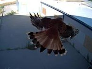 Real-Time Capture of a Hawk w/installed Surveillance Cameras