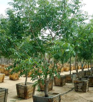 Planting Trees for Tucson