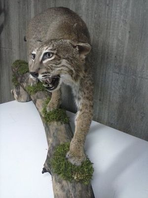 Image 6 | Ron's Taxidermy